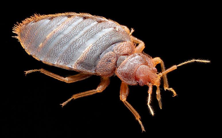 Vägglöss beg bugs (Foto: Flickr/afpmb)