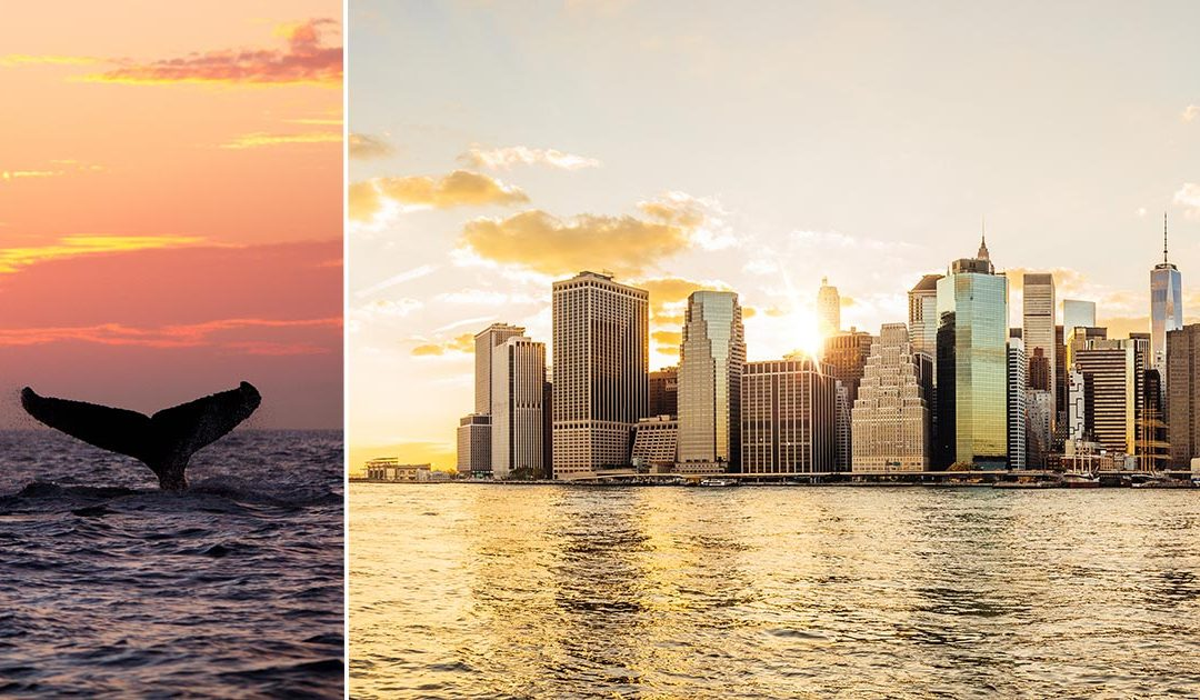 Nu kan du åka på valsafari med Manhattans skyline i bakgrunden